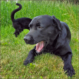 Catdog or dogcat? by Jan Arvid Solem - Animals - Dogs Playing ( playing, animals, kitten, cat, friends, pet, mutasjon, labrador, dog, black )