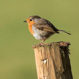 Robin by Bea Welsh - Animals Birds ( bird, robin, wings, beak, feathers, small )