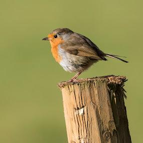 Robin by Bea Welsh - Animals Birds ( bird, robin, wings, beak, feathers, small,  )