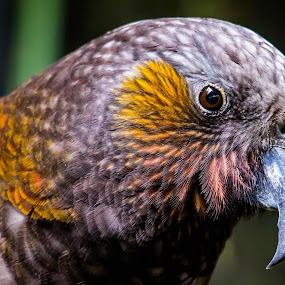 Look at Me by Ken Nicol - Animals Birds (  )