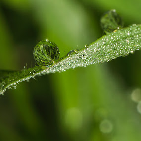 night dew... by Rose Roses - Nature Up Close Water ( drops )