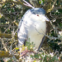 Black-crowned Night Heron; Martinete