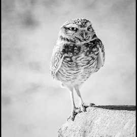 by Dave Lipchen - Black & White Animals ( burrowing owl )