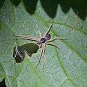 Running Crab Spider (male)
