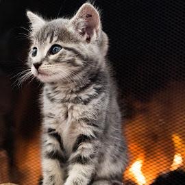 Warm kitty by Edward Swift - Animals - Cats Kittens ( kitten, cat, box, fireplace, animal )