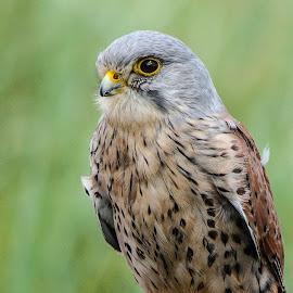 Haggerston kestrel by Garry Chisholm - Animals Birds ( bird, garry chisholm, nature, wildlife, prey, raptor )