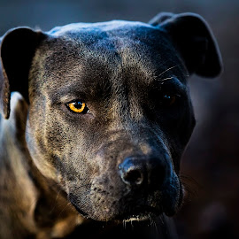 Nala ~ Natural Light by Sabrina Causey - Animals - Dogs Portraits ( bully, american bully, blue, grey, dof, dog, mammal, animal,  )