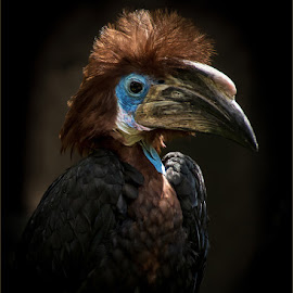 Hornbill by Herman Olivier - Animals Birds ( bird, hornbill, world of birds, south africa, birds, houtbay,  )