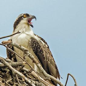 by Ioannis Alexander - Animals Birds ( bird of prey, wildlife,  )