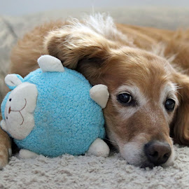 Senior Love by Kari Schoen - Animals - Dogs Portraits ( stuffed animals, canine, pet, dog, senior, golden retriever )