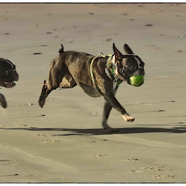 Running on the beach - Late afternoon by Glenn Visser - Animals - Dogs Running