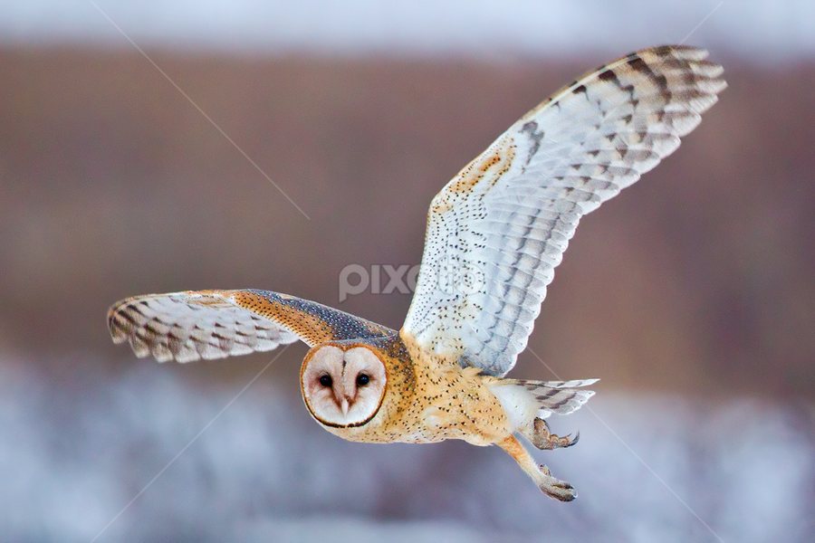 Barn Owl by Herb Houghton - Animals Birds ( bird of prey, barn owl, owl, raptor )