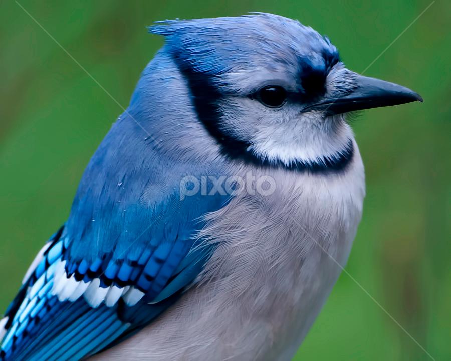 by Shelly Wetzel - Animals Birds ( bluejay )