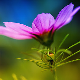 The cosmos by Stephanie Chupein - Nature Up Close Gardens & Produce