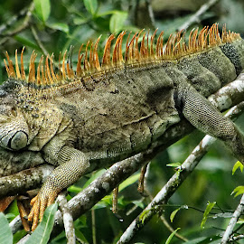 Green Iguana II by Stan Lupo - Animals Reptiles ( nature, outdoors, iguana, wildlife, reptile, animal )