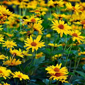 Yellow Flowers by Naveen Naidu - Flowers Flower Gardens