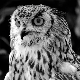 Stare of an owl by Pravine Chester - Black & White Animals ( animals, nature, eagle-owl, black and white, owl, wildlife, birds, portrait )