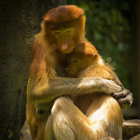 Monkey love by Eric Montalban - Animals Other Mammals ( love, mammals, affection, proboscis, monkey )
