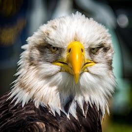 Eagle by Jon Starling - Animals Birds