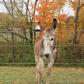 Donkey in the fall on his farm by Anne Mangen - Animals Horses