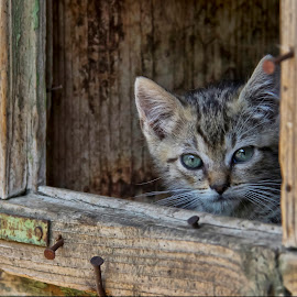 Hello!!! by Comsa Bogdan - Animals - Cats Kittens ( lol, cat, kitten, beautiful, beauty, enjoy, fun, pretty, eyes, hello, cats, gorgeous, comsa bogdan, animal, wonderful )