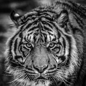 Gaze by Darren Whiteley - Black & White Animals ( cat, tiger, black and white, stripes, eyes, animal,  )