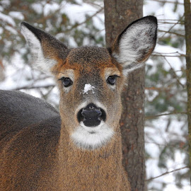 Doe with Snow Spot by Paulette King - Animals Other ( wild animal, white tailed deer, doe, animal, deer )