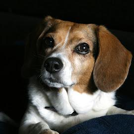 Cassie by Marta Rac-Rad - Animals - Dogs Portraits
