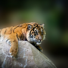 Here's Looking at You by Tim Davies - Animals Lions, Tigers & Big Cats ( predator, carnivore, tiger, stare, intense, rock, stripes )