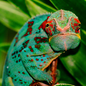 Caméléon by Gérard CHATENET - Animals Reptiles
