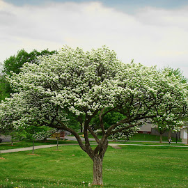 Spring Is In Bloom Here  by Yvonne Collins - Nature Up Close Trees & Bushes ( tree blossoms, trees, nature up close, pretty, spring )