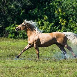 Run Wild and Free by Robert Steagall - Animals Horses ( palomino, wild, free, horse, running )