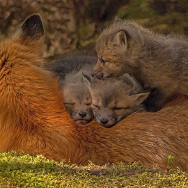 Mother Fox and her Kits by Steve Dunsford - Animals Other ( fox, canada, ontario parks, wildlife photography, fox kit, wildlife, ontario, forest, portrait, red fox, nature, family, algonquin, outdoor, algonquin park, animal )