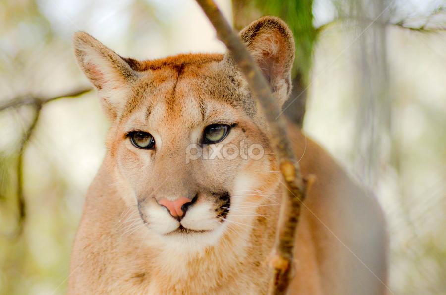 Puma Tiger   Lions, Tigers & Big Cats   Animals   Pixoto