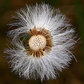 Round and Round by Chrissie Barrow - Nature Up Close Other plants ( plant, wild, fluffy, coltsfoot, white, brown, round, seeds, bokeh, seedhead )