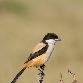 A Long Tailed Shrike by Sutapa Karmakar - Animals Birds ( bird, nature, long tailed shrike, rajarhat, bird photography )