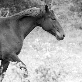 Horse by Elvis Pažin - Animals Horses ( animal portrait, black and white, pet, horse, animal )