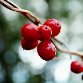 Bokeh Berries  by Tracy Taylor - Nature Up Close Other plants