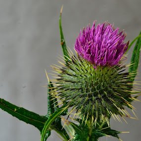 Thistle by Billy Kennedy - Flowers Flowers in the Wild ( purple )