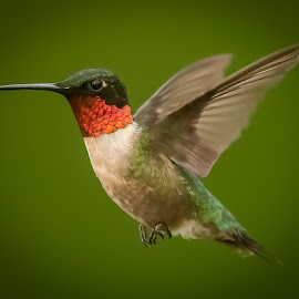 by Mike Craig - Animals Birds ( in flight, hummingbird, male )