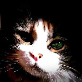 Miss Callie by Suzy Sutton - Animals - Cats Portraits ( ...♡... )