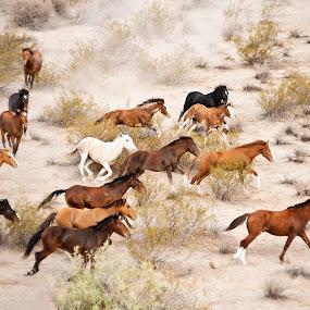 Wild Mustangs 3 by Dale Kesel - Animals Horses ( ultralight plane, desert, horses, arizona, native american lands, wildlife, stampeding horses, wild mustangs, gila river reservation )