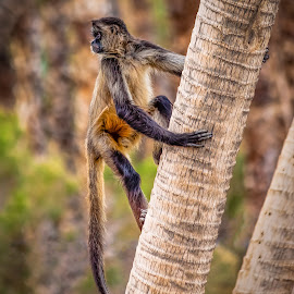Monkey on Tree by Dave Lipchen - Animals Other Mammals ( looking, zoo, tree, monkey )
