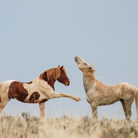 My space, your space. by Brandi Nichols - Animals Horses ( stallions, horses, wyoming, wild horses,  )