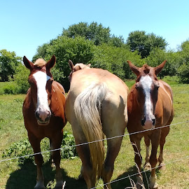 Heads or Tail by Rita Goebert - Animals Horses ( amish country; horses; july scenery;,  )