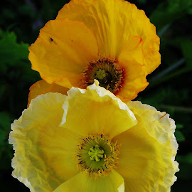 poppies by Sarah Harding - Novices Only Flowers & Plants (  )
