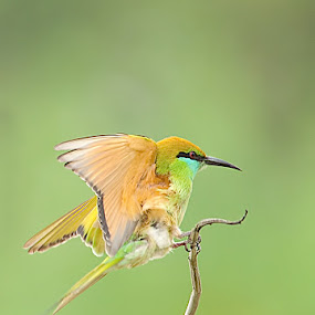 The Green Fairy..! by Srikanth Iyengar - Animals Birds