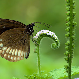 Butterfly by Arijit Mondal - Animals Insects & Spiders ( butterfly, butterfly on flower, butterflies, nature up close, insect )