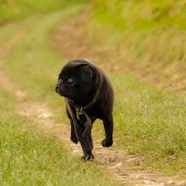 Batman the Pug by Jenny Trigg - Animals - Dogs Running ( puppy, pug running, dog, pug )