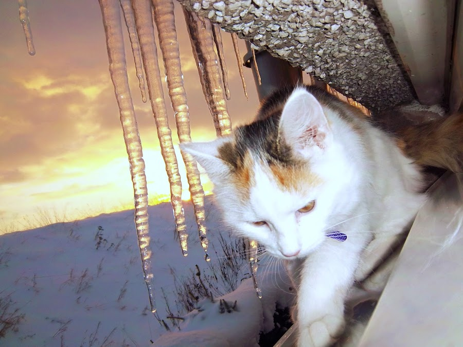 Winter Skye by Keri Stephenson - Animals - Cats Kittens ( scotland, cat, kitten, sunset, snow, white, weather, photography, animal )